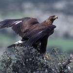 Aguila real Foto 4
