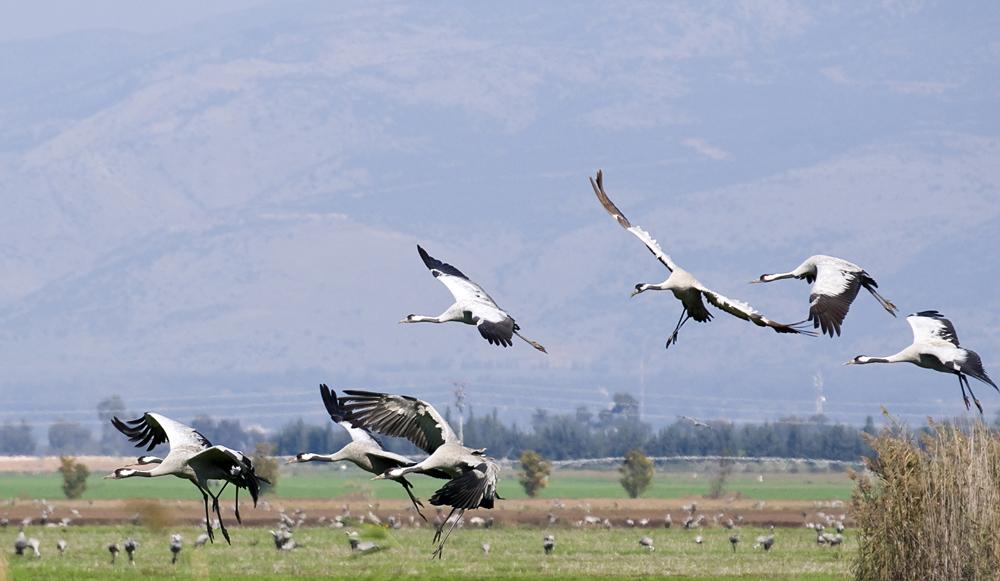 Grullas buscando alimento en campos de cultivo ©Shutterstock