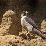 halcon peregrino en el medio natural ©Gabi Sierra SEOBirdLife baja
