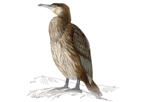 Cormoran grande Dibujo 3