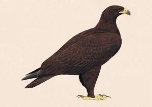Aguila moteada Foto 1