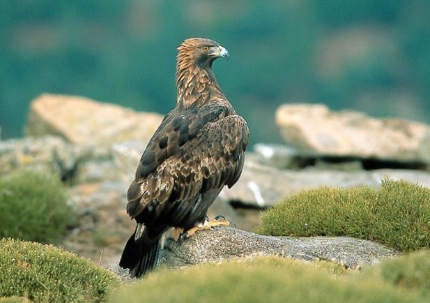 Aguila real Foto 1