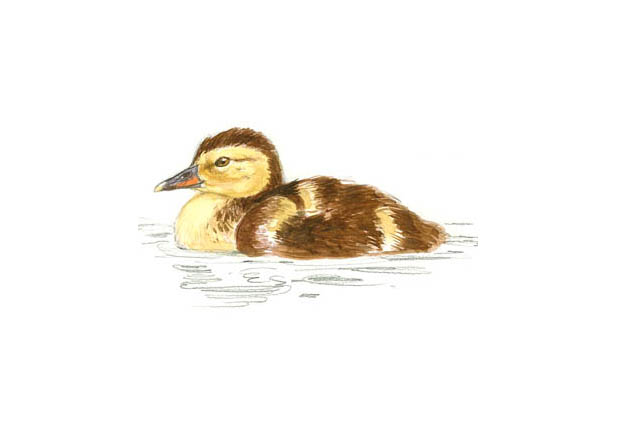 Pato colorado Dibujo 3