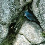 Roquero solitario Foto 3