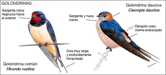 Golondrinas común y daúrica posadas. Ilustración: Juan Varela