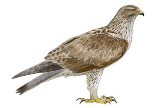 Águila-azor perdicera.©Juan Varela