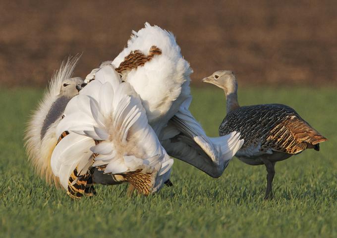 Un macho de avutarda en pleno cortejo ante una hembra. ©Franz Kovacs