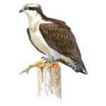 Ilustración de un águila pescadora. Autor: Juan Varela