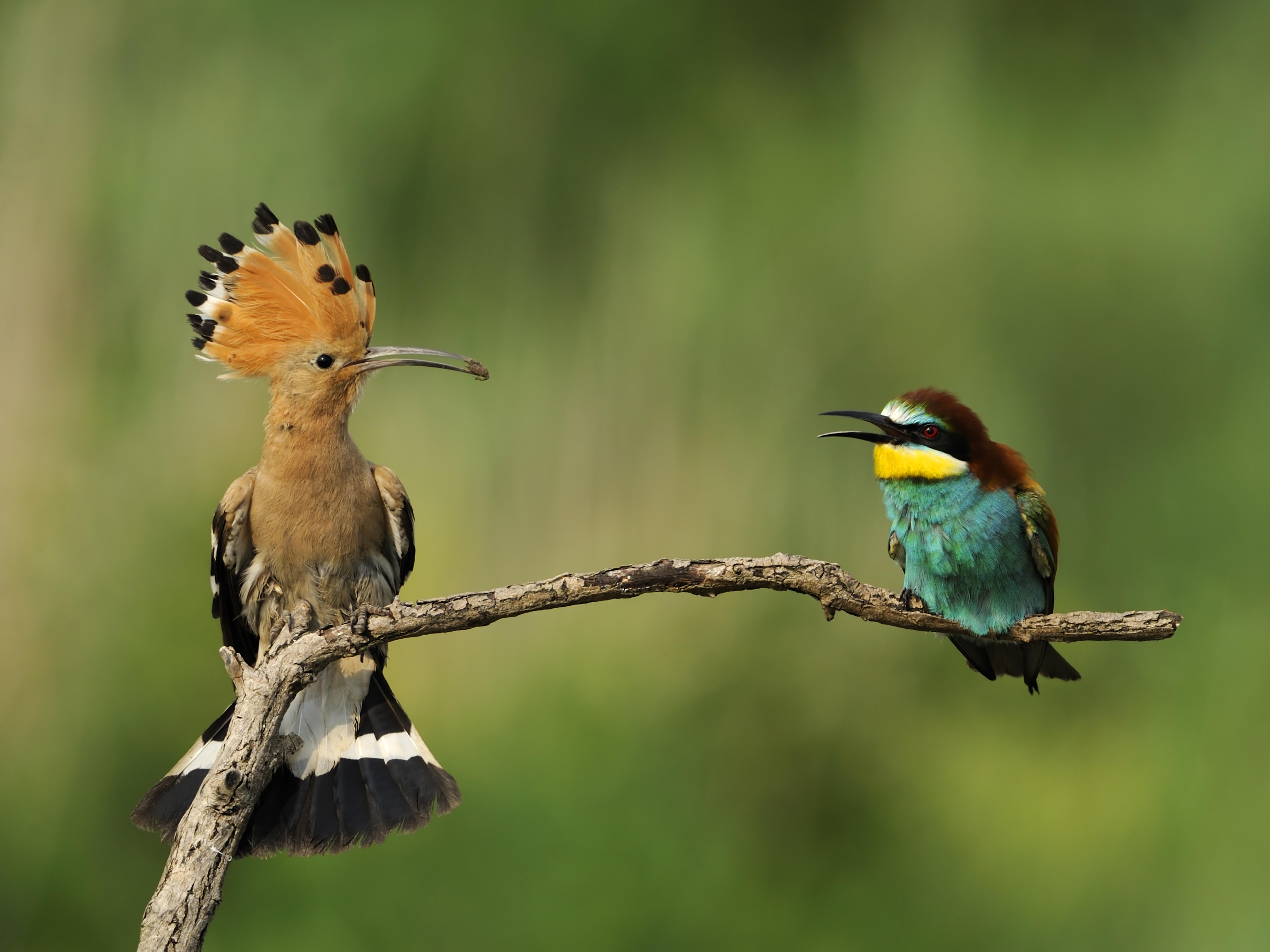 Abubilla y abejaruco. ©Shutterstock