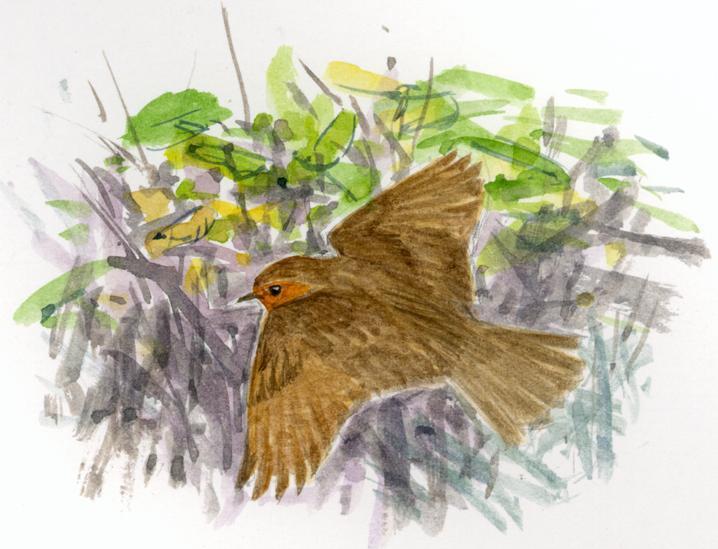 petirroj en vuelo dibujo ©Juan Varela