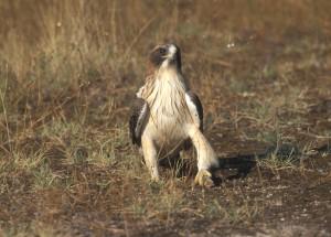 Águila calzada © Tatavasco
