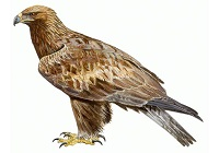 águila real en Noruega