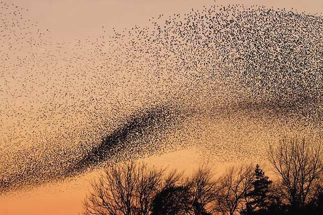 Starling_murmuration_Walter_Bxter