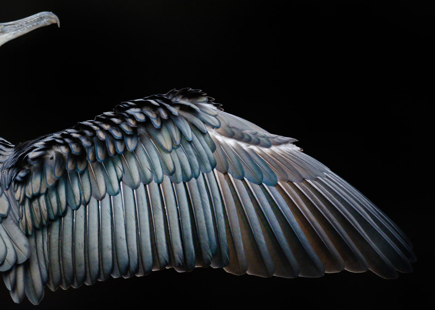 Cormorant wing ©Tom Hines
