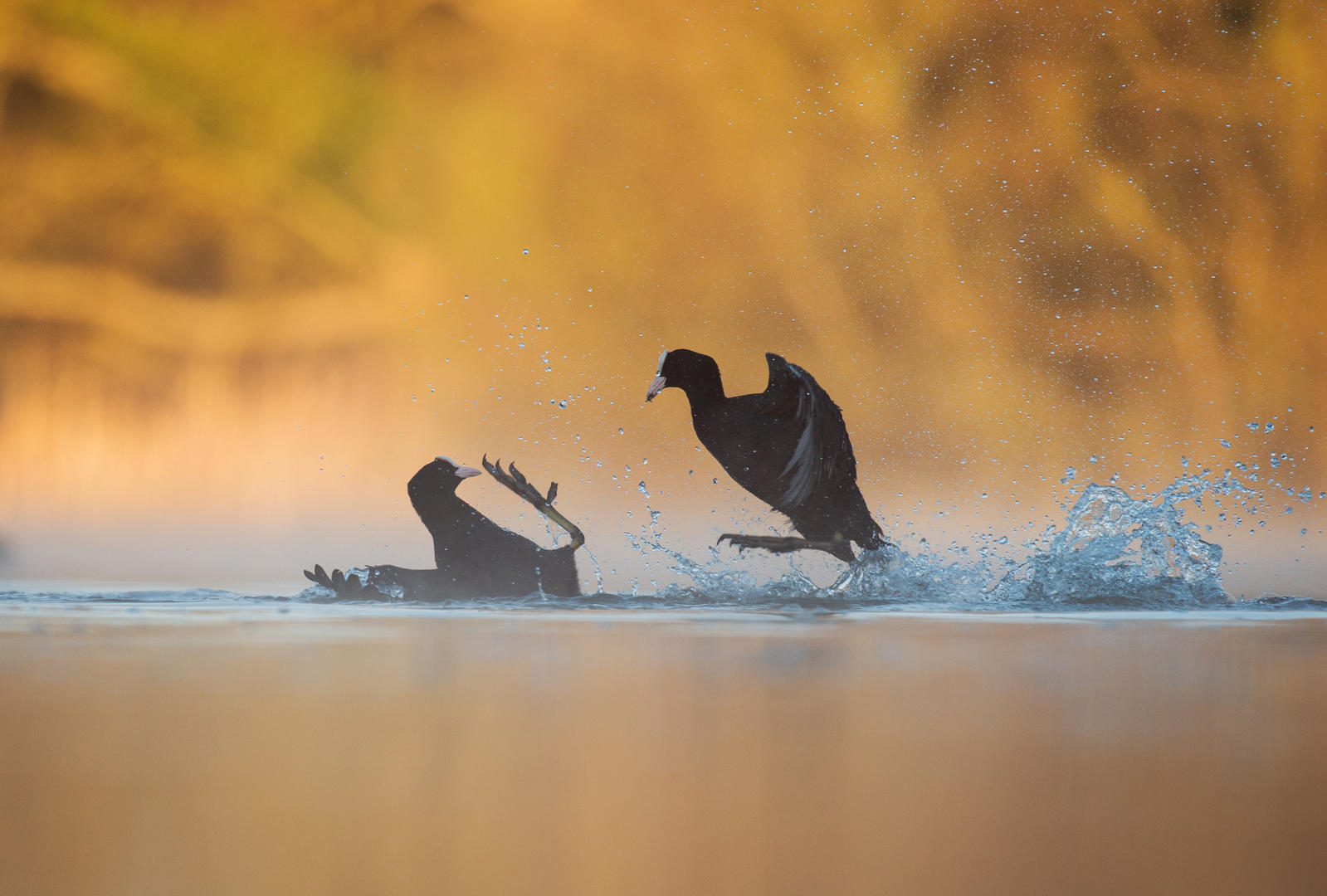 Fighting Coots ©Andy Parkinson