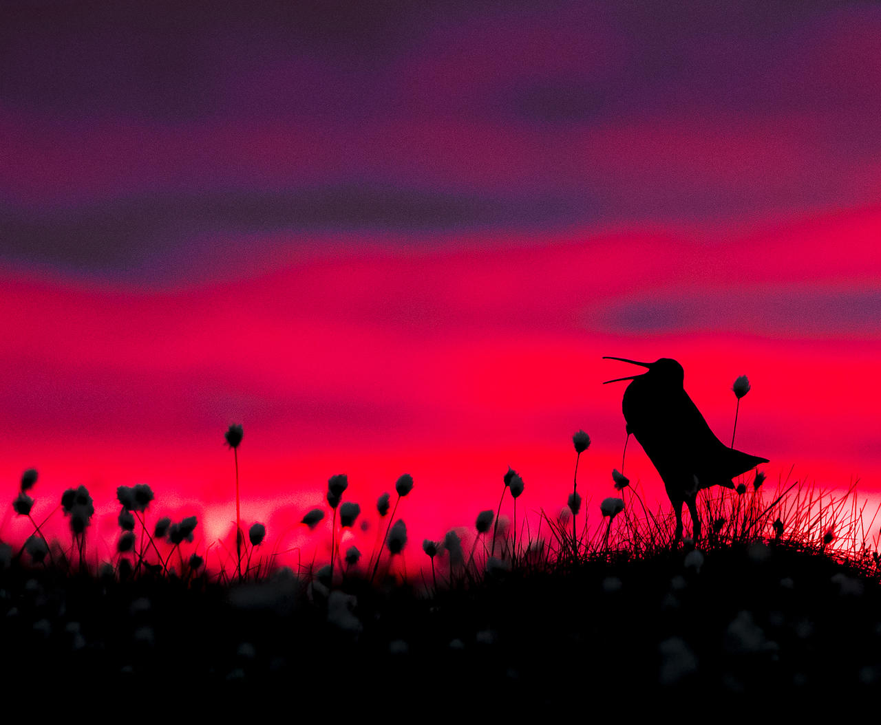 Great Snipe silhouette ©Torsten Green-Petersen