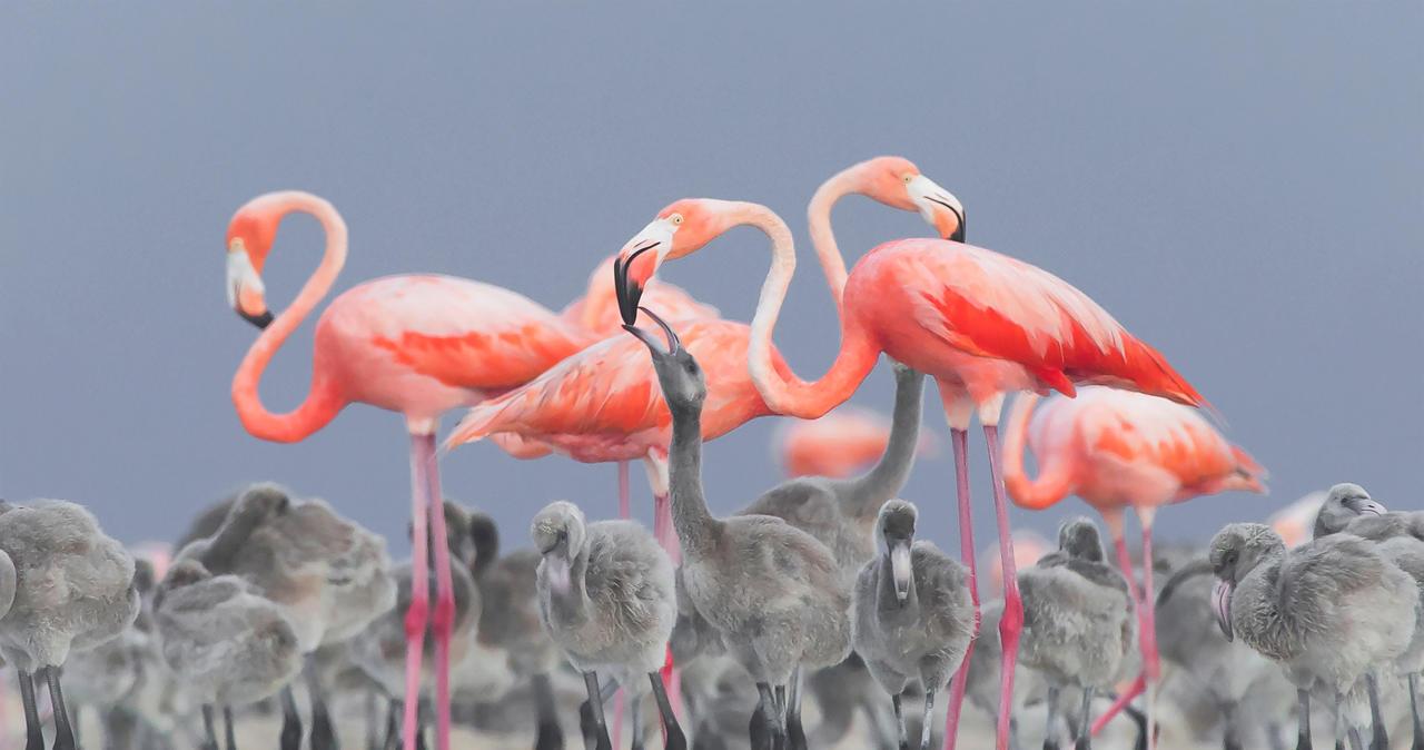 Feeding Flamingos ©Alejandro Prieto Rojas