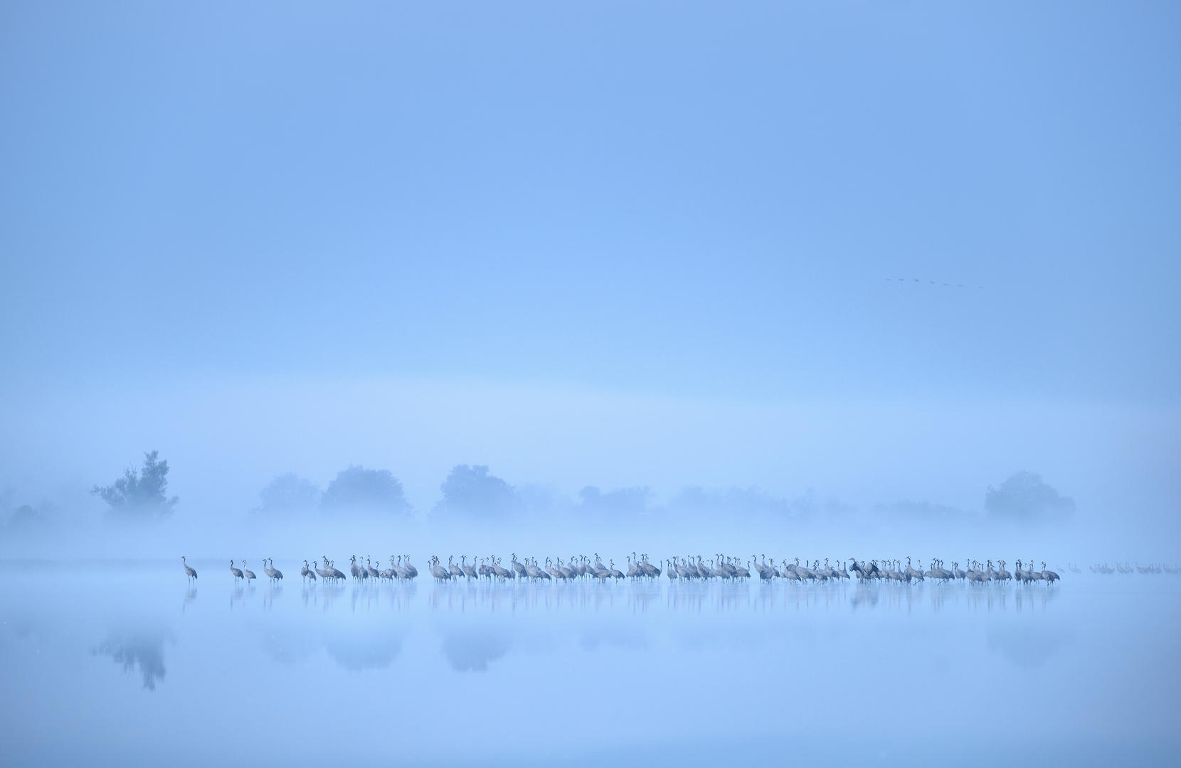Crane flock misty lake © Piotr Chara