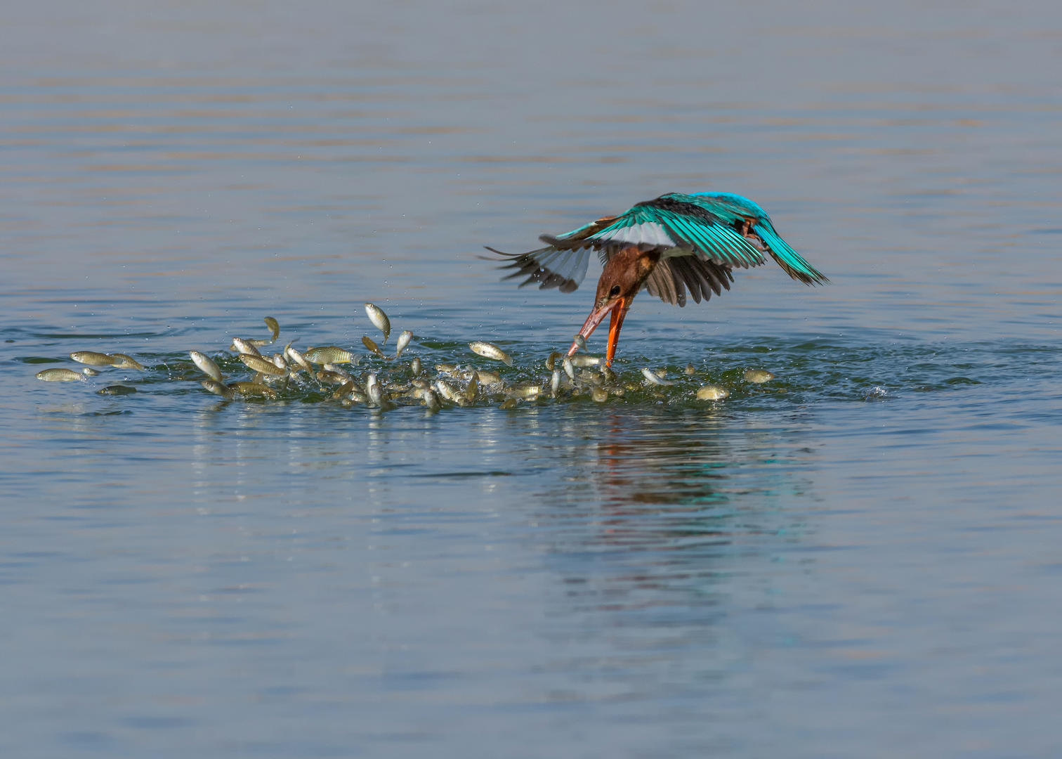 Diving Kingfisher © Malek Alhazzaa