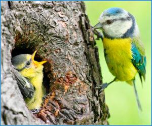 Herrerillos comunes criando en un hueco natural. Foto Kletr/Shuterstock.com